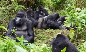 Congo gorillas trekking