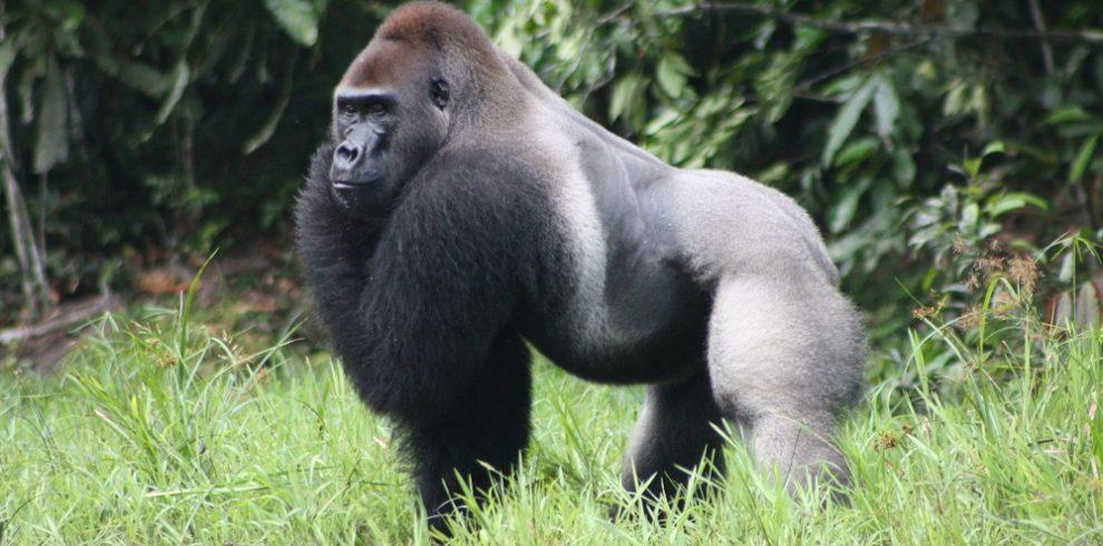 Congo Eastern Lowland Gorillas