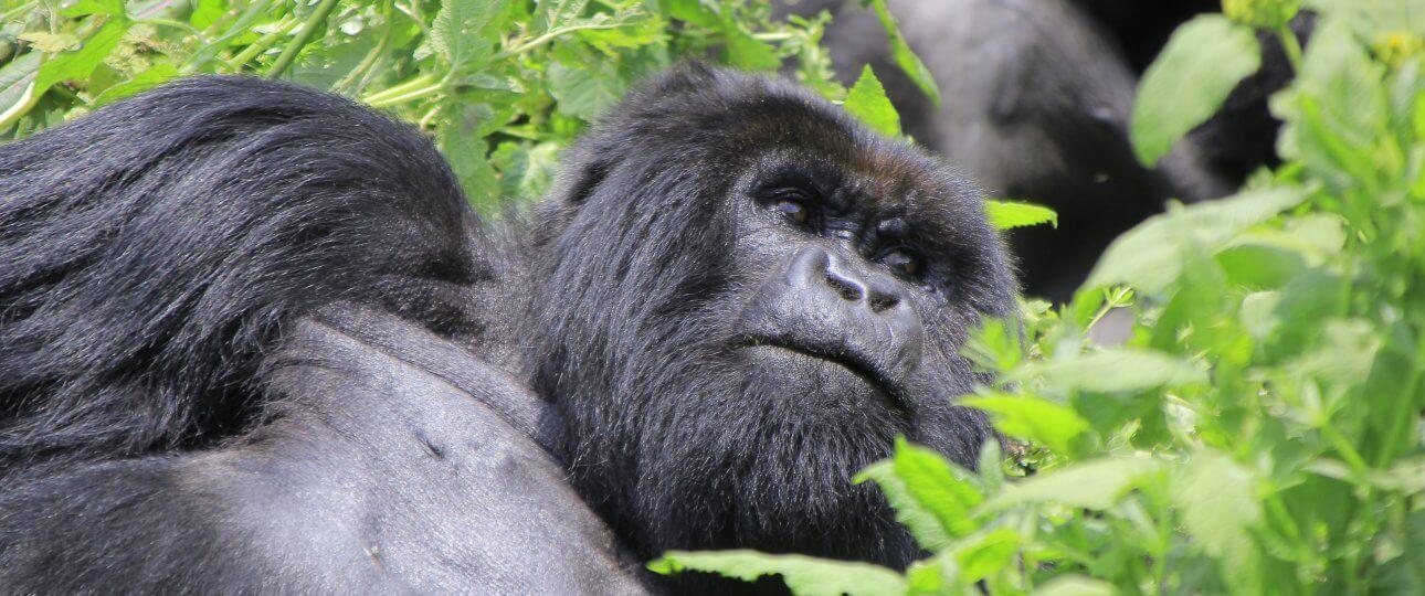 Mountain Gorillas family Congo gorillas trekking