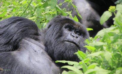 Discounted Mountain Gorilla trekking Congo Safaris