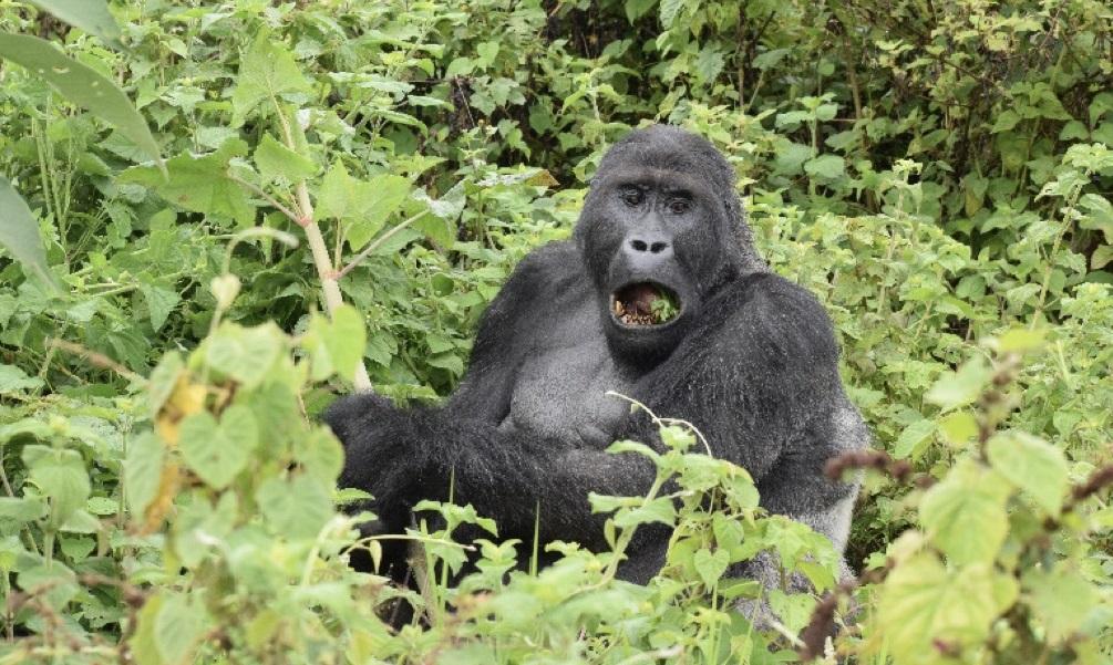 Mugaruka the solitary silverback gorilla in Kahuzi Biega National Park
