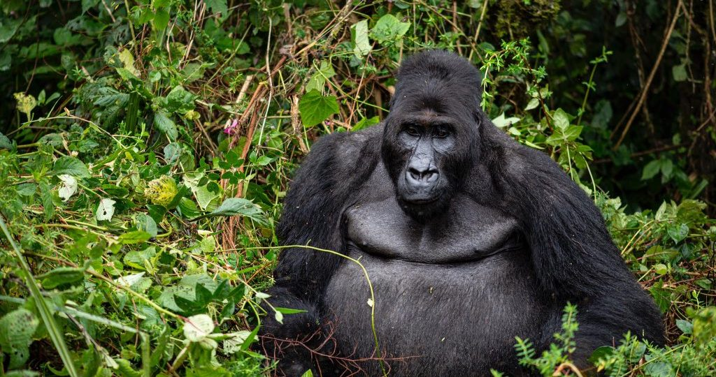 Gorillas in the Democratic Republic of the Congo, Bonane the leader of his family group