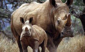 Garamba National Park White Rhinos